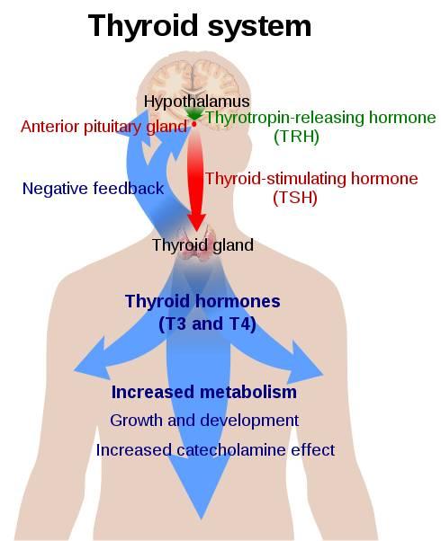 Schilddrüsen-Regelsystem aus Hypophyse, Hypothalamus, TRH, TSH, T4, T3 & Co.