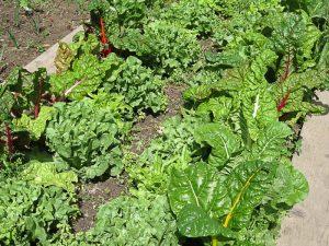 Mangold & Salat