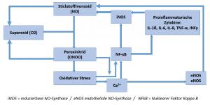 Teufelskreislauf der NO-Synthase Entgleisung mit folgender Bildung von Peroxinitrid (ONOO)