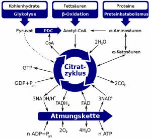 Schematische Darstellung der mit dem Citratzyklus assoziierten metabolischen Wege.