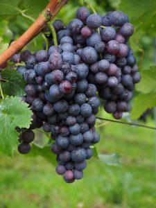 Gespritzte Weintrauben