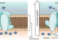 Schematische Abbildung von VGCCs (Spannungsgesteuerten Ca-Kanälen) nach M. Pall.