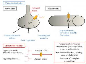 Übersicht bez. der Auswirkungen von VGCC Aktivatoren und Inhibitoren auf die Physiologie und das Verhalten von Honigbienen. Erklärungen für die Toxizität von Insektiziden.