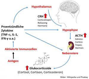 Zytokin induzierter Cortisolanstieg - der mittelfristig zur Nebennierenerschöpfung führen kann.