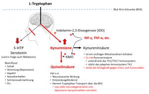Weniger 5-HTP wegen IDO (Über-)Aktivierung durch inflammatorische Zytokine.