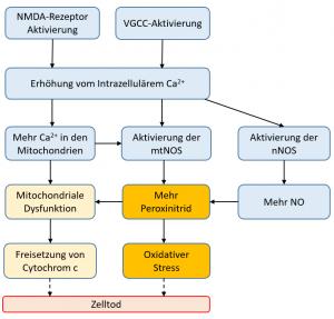 Pathologischer Ablauf in Bezug auf Ca2+ Einstrom in die Zelle (NMDA, VGCC-Aktiviert), NO-Synthase Aktivierung, Peroxinitrit-Bildung und Zelltod