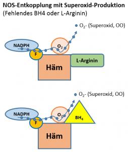 Elektron (+) von NADPH wird in der ungekoppelten eNOS in Abwesenheit von BH4 (oben) und / oder L-Arginin (unten) zu O2 übertragen, wodurch Superoxid erzeugt wird. BH4, Tetrahydrobiopterin; eNOS, endotheliale Stickstoffoxidsynthase; F, Flavin; NADPH, Nicotinamidadenindinucleotidphosphat. eNOS-Monomer produziert Superoxid. Die Entkopplung von eNOS erfolgt während der Umwandlung von eNOS-Homodimer in eNOS-Monomer.