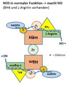 Gekoppeltes eNOS (eNOS-Homodimer) produziert NO. Zwei eNOS-Monomere werden mit Hilfe von Zn2 + verbunden, wodurch eNOS-Homodimer entsteht. BH4 verstärkt die Zn2 + -Verbindung, wobei die Dimerform erhalten bleibt. In gekoppelten NOS wird ein Elektron auf L-Arginin übertragen, wobei NO und L-Citrullin produziert werden.