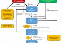 Vereinfachter Folsäure / Folat-Metabolismus