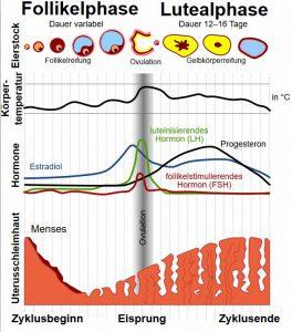 Menstruations-Zyklus mit Verlauf Progesteron, Östradiol, LH und FSH.