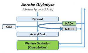 Über Einsatz von NAD+ wird Pyruvat to AcetylCoA gewandelt. Im Citrat-Zyklus (ETC) wird dann AcetylCoA 'verheizt' und NADH zu NAD+ regeneriert, wenn dies seine Elektronen auf ein O2 in der ETC überträgt. Hier wird Glucose sehr effizient zu ATP verstoffwechselt.