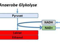 Ohne Sauerstoff (Anaerobe Glykolyse) wird Pyruvat zu Laktat und dann Ethanol fermentiert. Dabei wird NAD+ zu NADH regeneriert, wobei sich der Vorrat an NAD+ in der Zelle aber erschöpfen kann. Kurzzeitig (u.a. Muskeln) ist das 'voll o.k.'. chronisch (u.a. Tumor-Gewebe) ist dies jedoch problematisch.