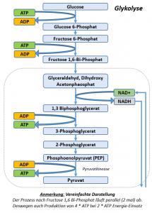 Bei der Glykolyse wird unter Gewinnung von 2 ATP und Einsatz von NAD+ Glucose in Pyruvat gewandelt.