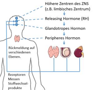 Hierarchie der Hormonregulation.