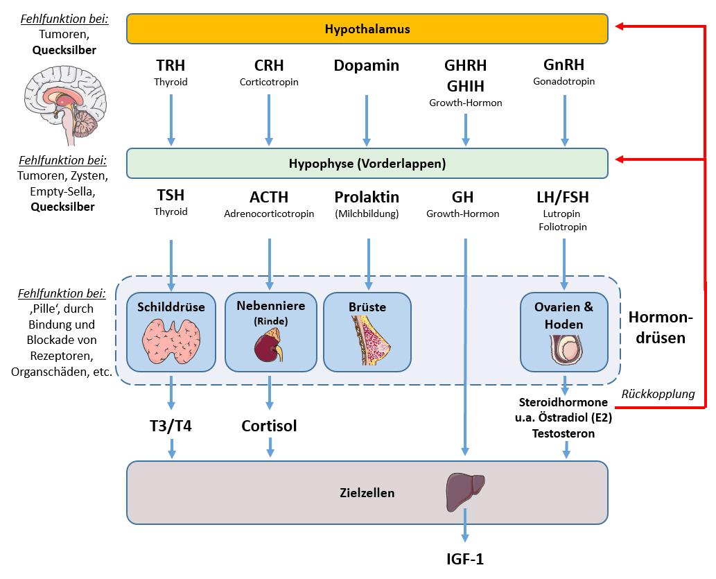 Grobe Übersicht über das Hypothalamus-Hypophysen-System und welche Hormone und Organe es (neben anderen) reguliert
