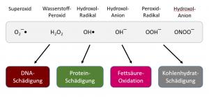 Formen freie Radikale (ROS) und des nitrosativem Stresses