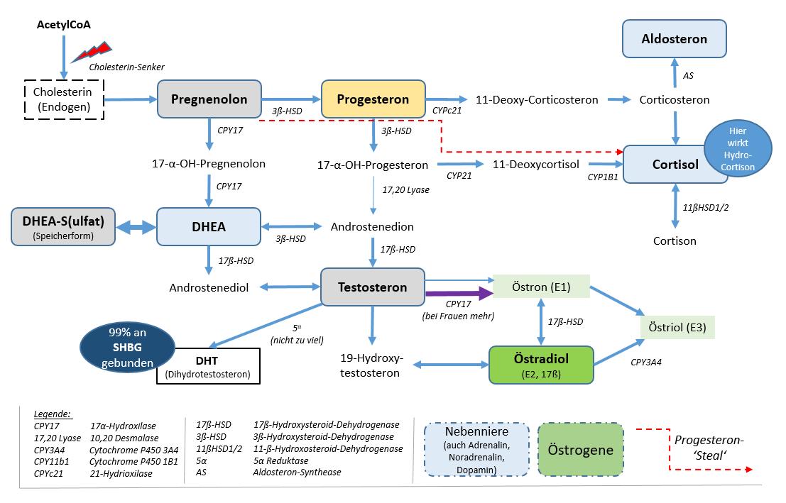 Das Steroid-Hormonsystem (inkl. Enzyme). Anm.: Blaue Kästen sind Hormone die von der Nebenniere gebildet werden.