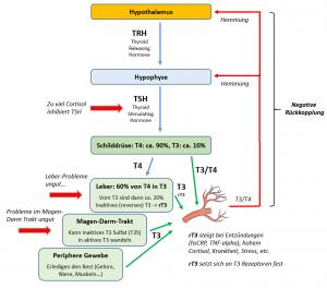 Die Schilddrüsen-Regulation mit TRH + TSH und Produktion von T3, T4 und rT3 im Überblick.