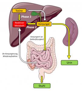 Organbezogenes Schaubild der Elimination von Toxinen mittels der 3 Phasen der Entgiftung.