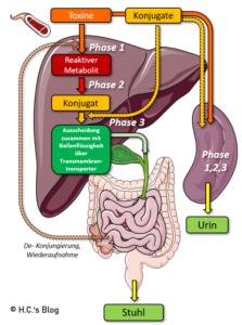 Organbezogenes Schaubild der Elimination von Toxinen mittels der 3 Phasen der Entgiftung. Anmerkung: Phase 1 (Funktionalisierung) & 2 (Konjugierung) finden in allen Zellen statt. Ein Teil der Phase 3 (Tranport) ebenfalls -> Export der konjungierten Toxine in das Blut. Aus dem Blut gelangen die Toxine über die Transporter durch Leber & Niere in Harn und Kot. In der Leber werden die Toxine dazu an die Galle gebunden, ausgeschieden, in der Gallenblase eingedickt und in den Dünndarm entlassen. Im Darm kann allerdings eine Re-Absorption der Toxine stattfinden.