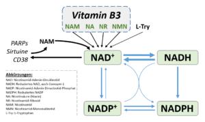 Vitamin B3, seine Formen und primären Verwendungen im Kontext NAD(H) und NADP(H). Bild: H.C.