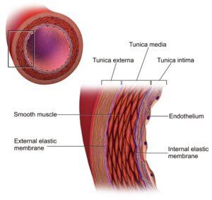 Anatomie der Arterie.