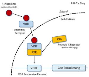 Zusammenspiel vom aktiven 1,25(OH)D Vitamin D mit dem VDR und RXR-Rezeptor für die Gen-Encodierung.