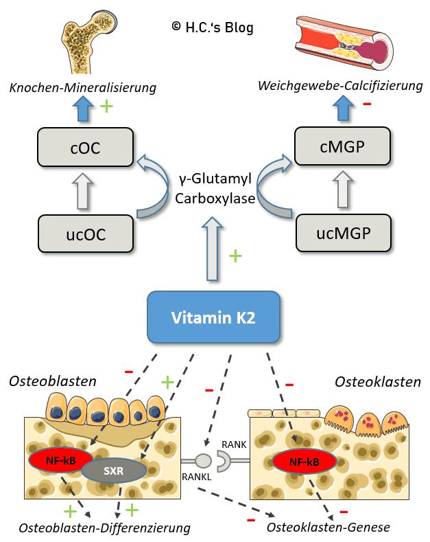 Vitamin K2 und der Calcium-Stoffwechsel. ucOC: untercarboxyliertes Osteocalcin, cOC: carboxyliertes Osteocalcin, ucMGP: untercarboxyliert Matrix-Gla-Protein, cMGP: Carboxyliertes Matrix-Gla-Protein, NF-κB: Nuklearer Faktor κB, SXR: Steroid- und Xenobiotik-Rezeptor, RANKL: Rezeptor-Aktivator des nuklearen Faktors Kappa B Ligand, RANK: Rezeptor-Aktivator des Nuklearfaktors Kappa B